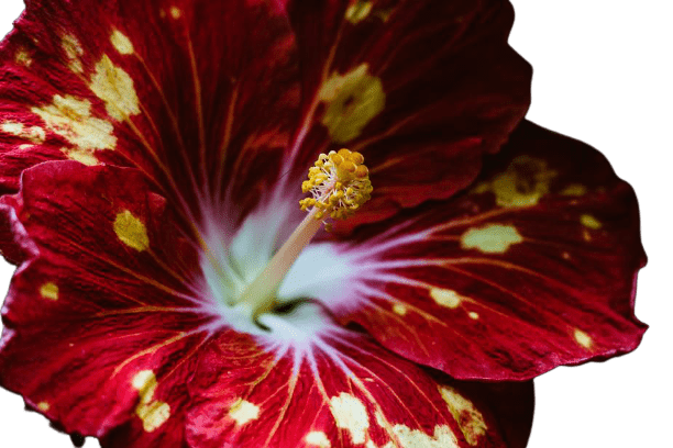 red-tropical-flower-removebg-preview (1)